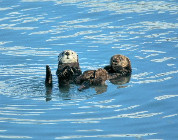 Otters greeting the ship