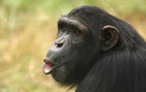 A Chimpanzee presses it's lips together as if it were ready for a kiss
