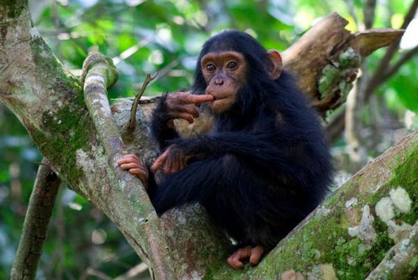 A Chimp hangs out high in a tree