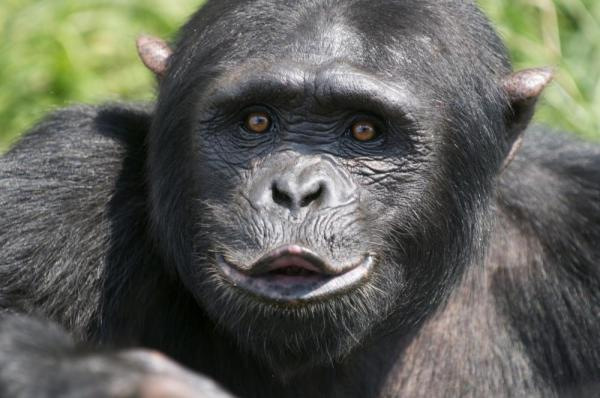 A Chimp puckers it's lips