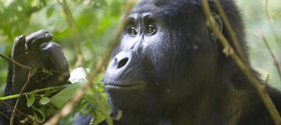 A Gorilla sits quietly in the forest