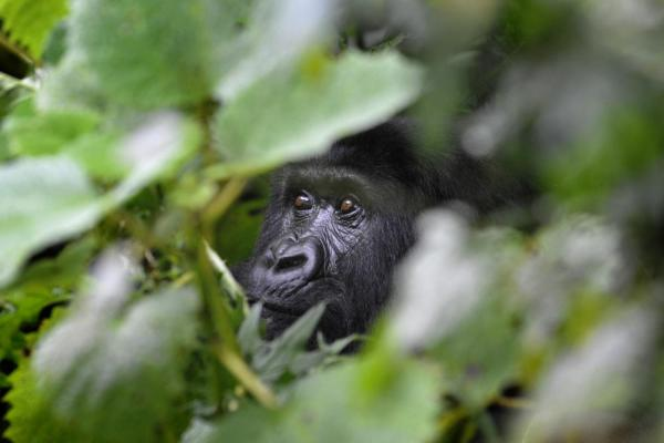 A Gorilla hides in the forest