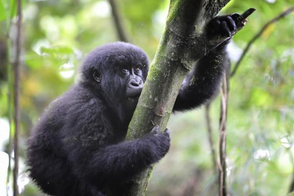 A young Gorilla hugs a tree.