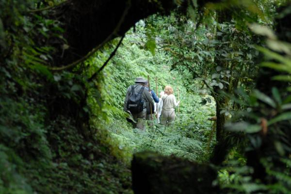 Travelers walk through the thick jungle while gorilla tracking