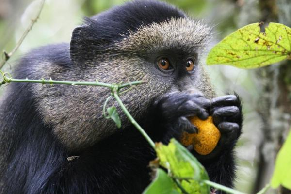 A Golden Monkey feeds on some fruit.