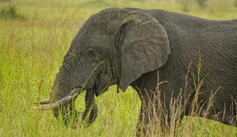 An elephant feeds on the lushous green grass.