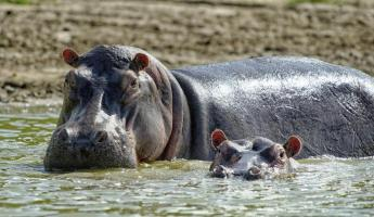Two hippos make their way through the water.