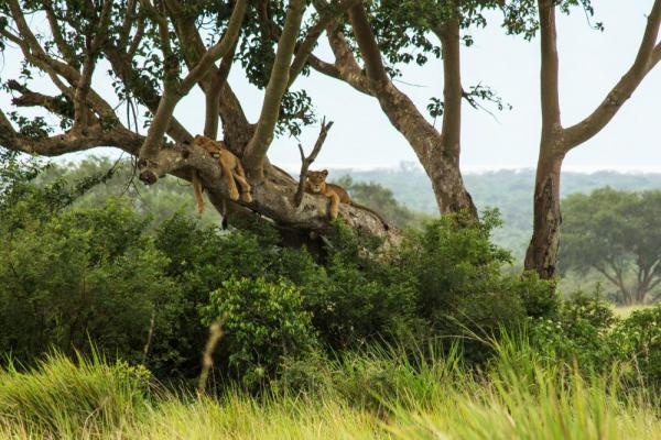 A couple lions relax on the branch of a tree
