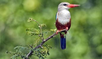 Witness some amazing birds in Africa such as the Grey Headed Kingfisher