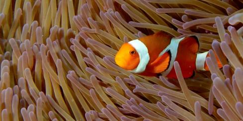 Snorkeling with clownfish.