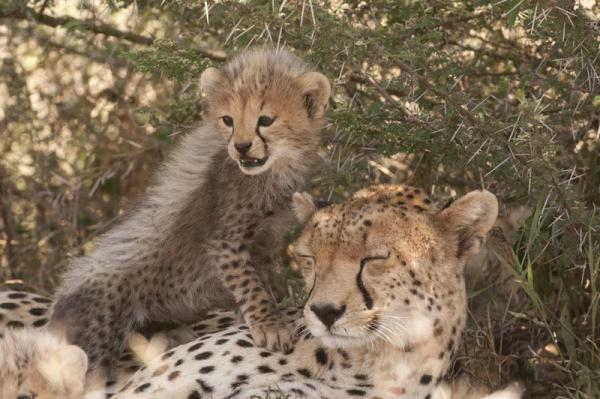 Tarangire Wildlife includes cheetas