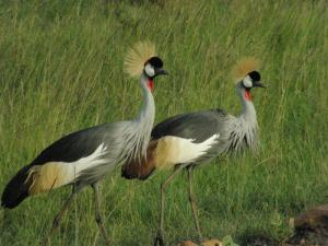 The Crowned Gray Crane.