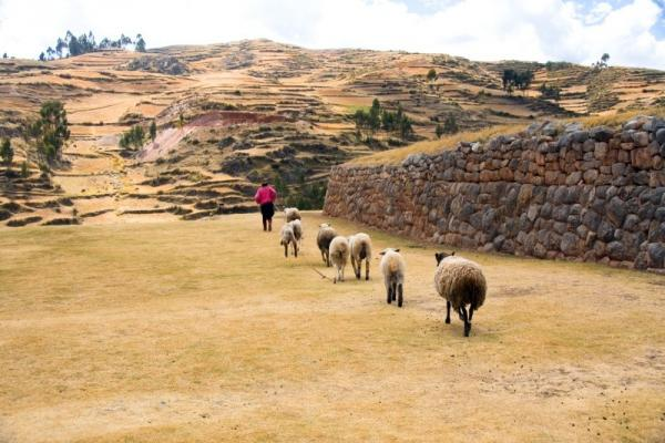 A farmer walks his sheep through the terrace