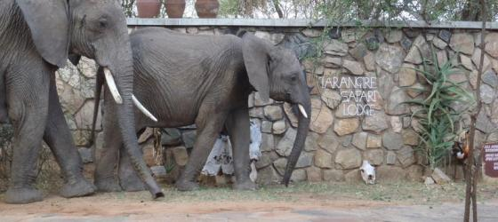 Elephants at Tarangire Lodge