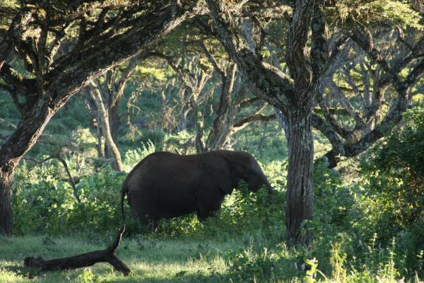 An elephant feeds in the grass.
