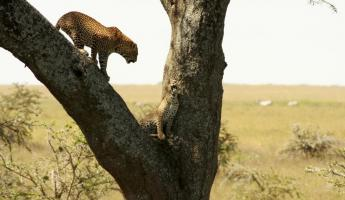 Two cheetahs growl at eachother while up in a tree.