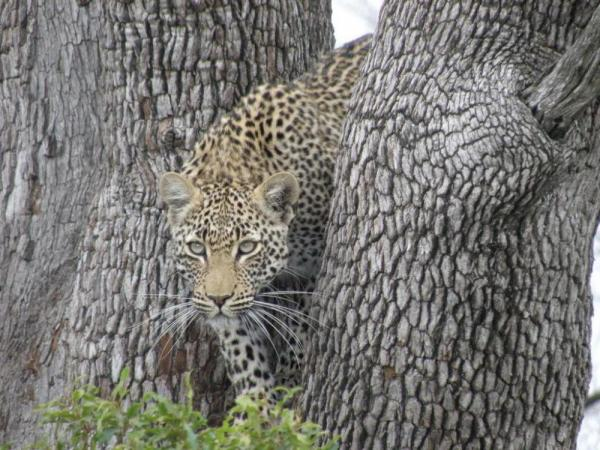A cheetah hides between the trunks of a tree to hunt its prey.