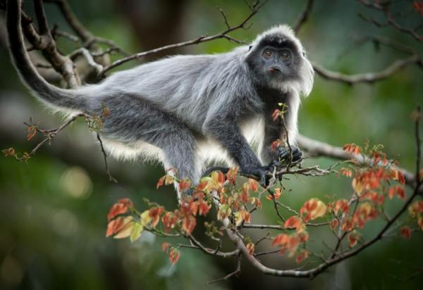 View silvered langur monkeys as you sail