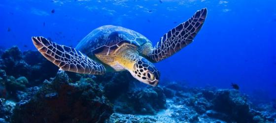 Snorkel with sea turtles as you cruise the South Pacific
