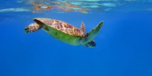 Snorkel with sea turtles as you cruise along Indonesia