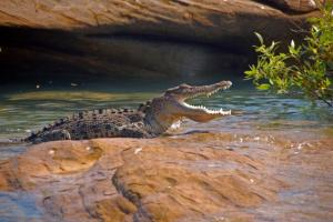 View salt-water crocodiles as you cruise