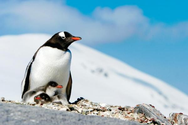 A mother gentoo penguin and her chick