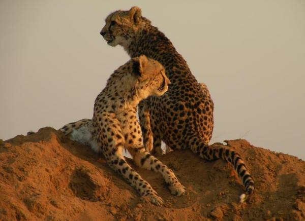 Cheetahs rest an the dirt in the sunset