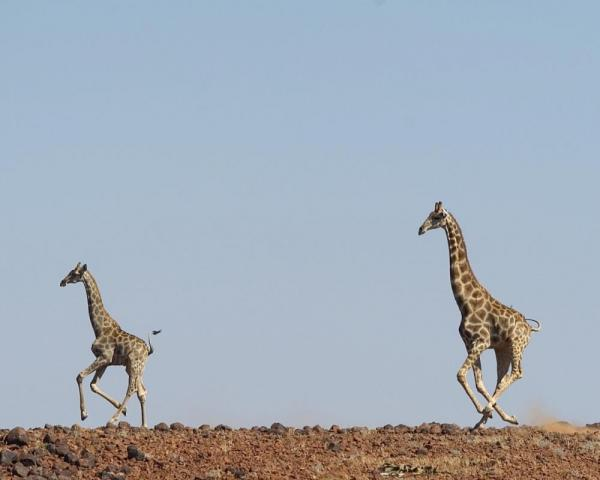 Giraffes running across the safari