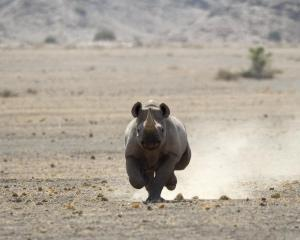 A rhino runs across the desert