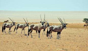 A herd of gemsbok