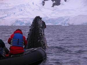A humpback whale surfaces close to the zodiac