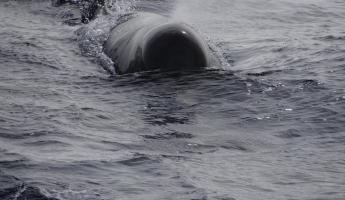 Ahoy -- Long Finned Pilot Whale!