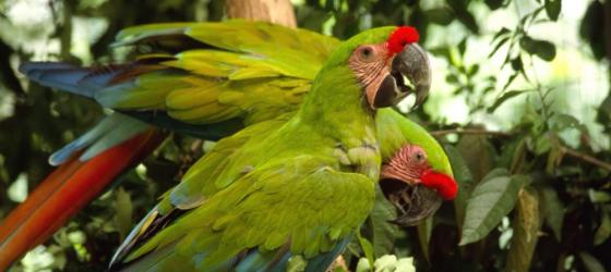 A pair of macaws in the Amazon