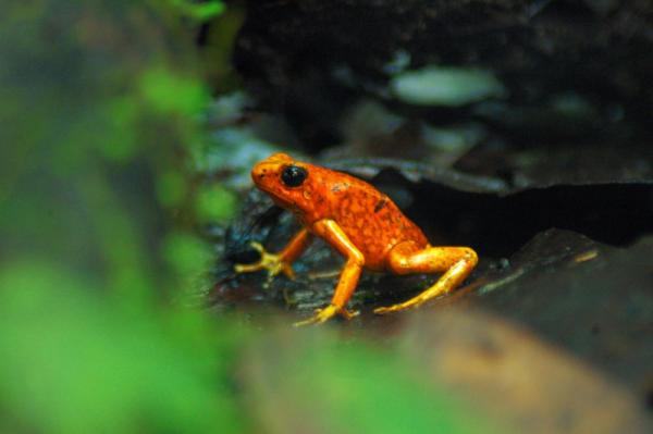 A vibrant frog in the Amazon