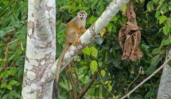 A spider monkey in the Amazon