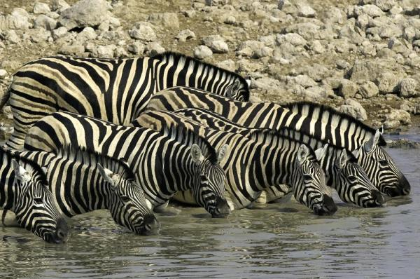 Zebra in Namibia