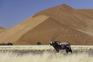 An oryx wanders at the edge of the desert.