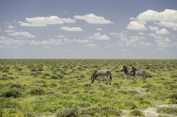 Zebras feed on the lush green grass.