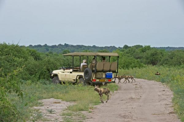 A group of hyenas run around the jeep of this African safari.