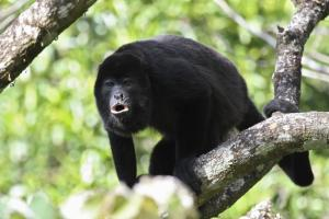 Howler Monkey in the rainforest canopy