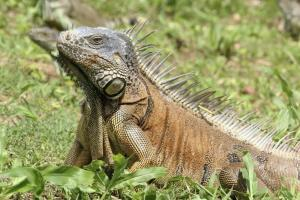A green iguana suns itself in the Belizean rainforest