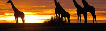 Giraffes and an Africa sunset