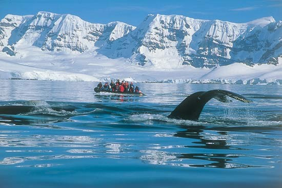 Humpback whales migrate to Antarctica during summer to feed in the rich waters