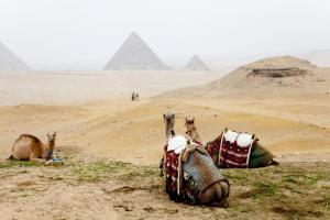 A group of camels rests in front of the Giza pyramids