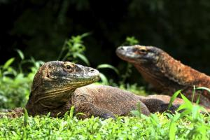 A pair of dragons on Komodo Island