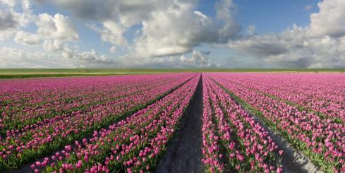 Fields of tulips stretch as far as the eye can see