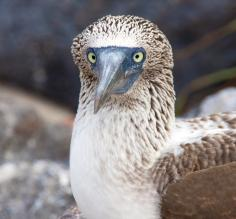 An engaged blue-footed boobie