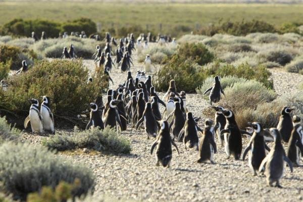 A penguin colony on the move in Peninsula Valdes