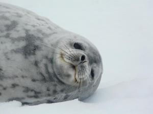Seal in the arctic.