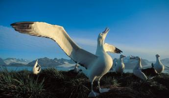 Albatross in the arctic.